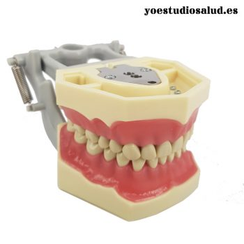 ARTICULATED AG3 DENTAL MODEL