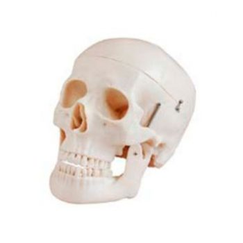 ANATOMIC MODEL HUMAN SKULL REAL SIZE DELUXE STYLE XC-104D