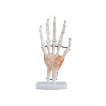 ANATOMIC MODEL ARTICULATION MAO COM LIGAMENTS REAL SIZE XC-114A